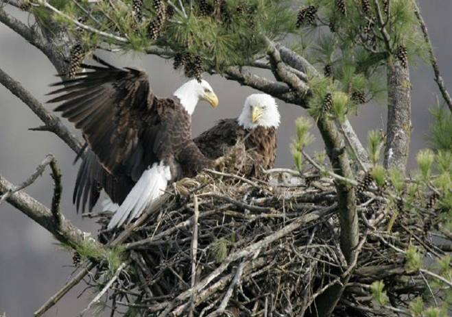 eagles in nest 2